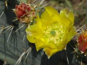 Garner's Cactus Flowers 4