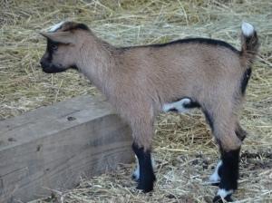 Baby Goat - Asheville