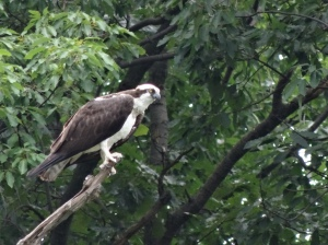Osprey, Greenleaf MD
