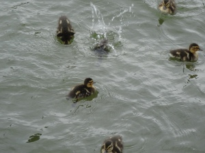 Ducklings on the St. Lawrence River