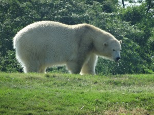 Little ice on a warm day for the polar bear