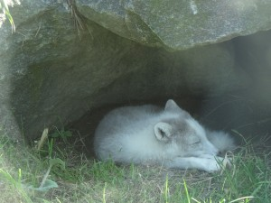 Sleepy white fox