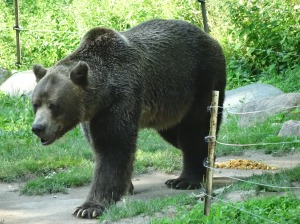 This pacing grizzly bear kept testing the electric fence.  It was disturbing.