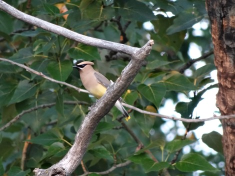 Cedar Waxwing, Red Lodge