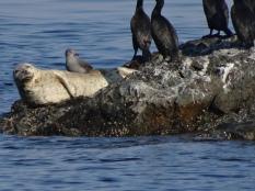 Haro Strait Wildlife 2