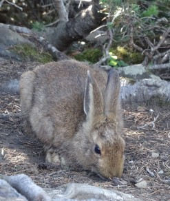 Hurricane Ridge Bunny