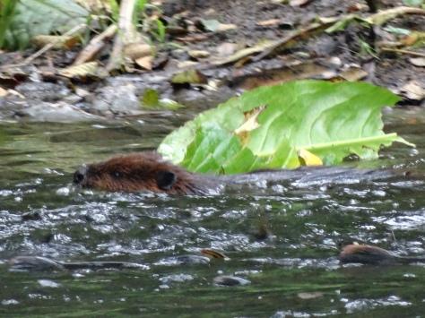 Ketchikan Beaver