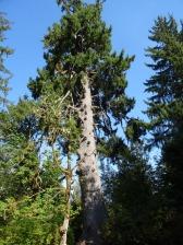 Largest Cedar