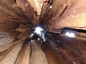 Looking up inside Quinnault Big Cedar