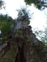 Quinault Big Cedar 2