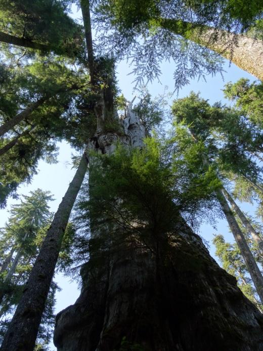 Quinnault Big Cedar