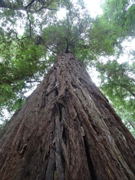 Giant Redwood, Stoutgrove