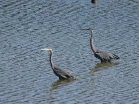 Great Blue Herons on the Willamette River