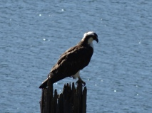 Osprey on the Willamette River