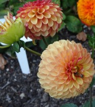 Pittock Mansion Chrysanthemums
