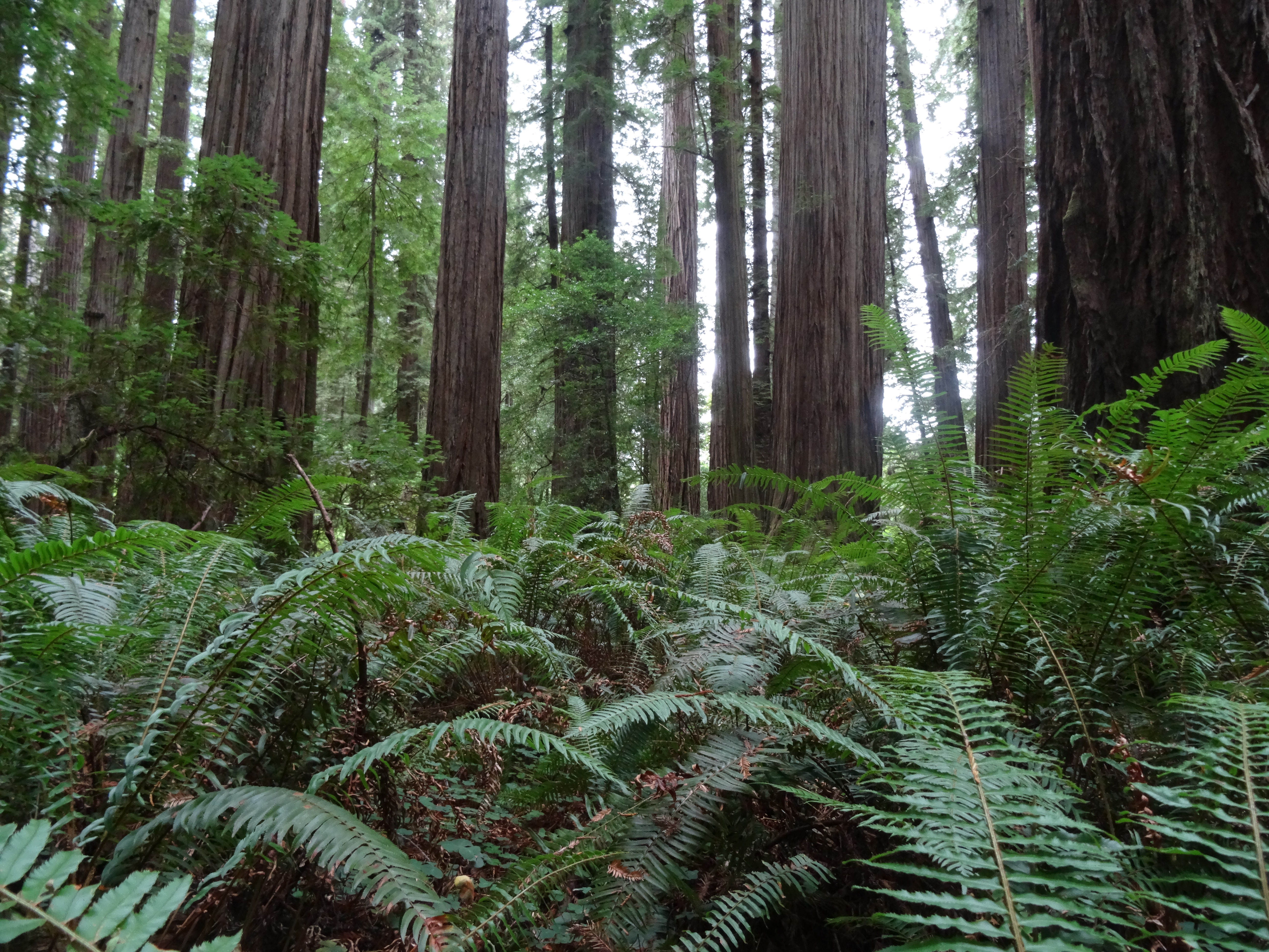 Stout Grove, JS Redwoods State Park