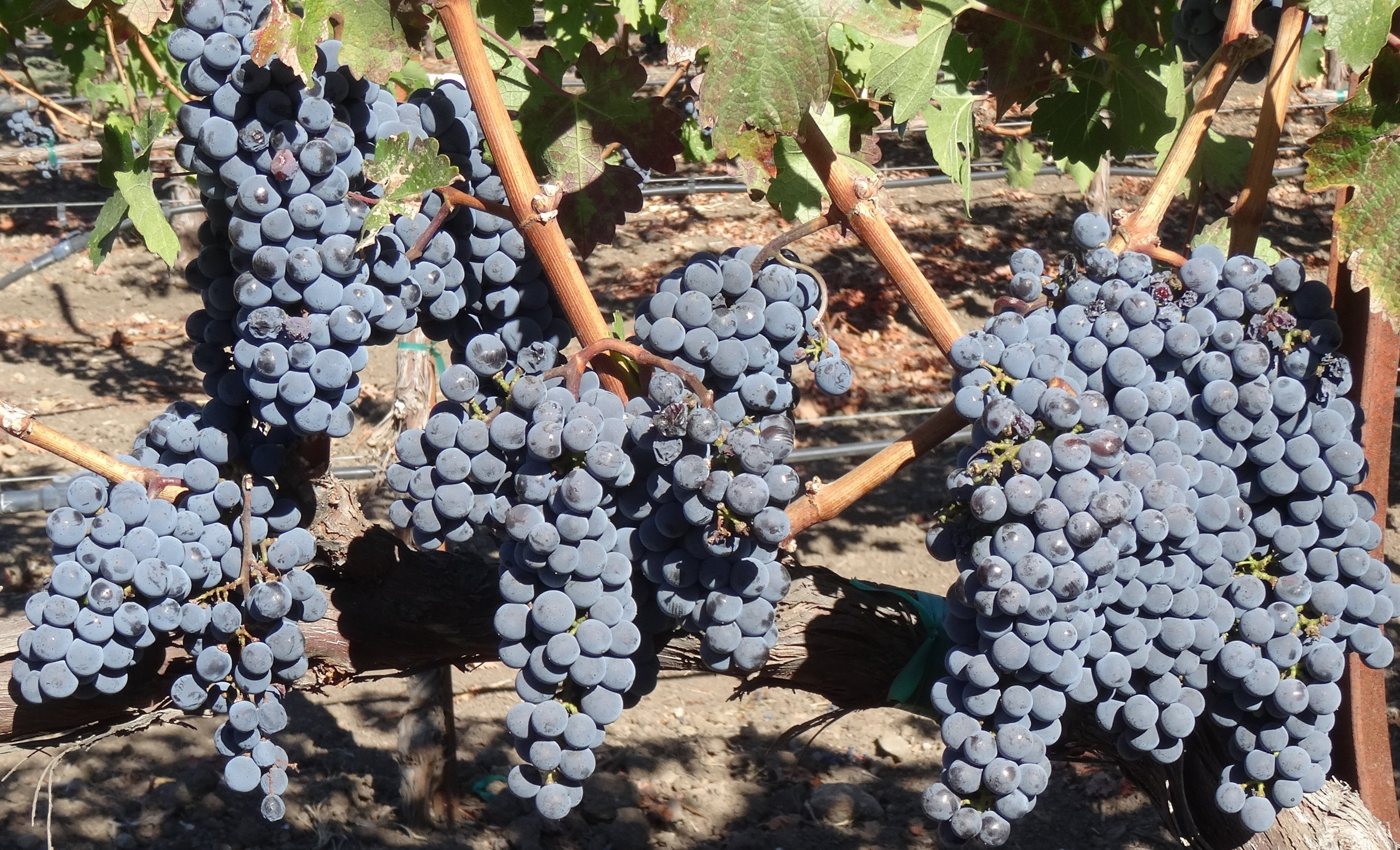 chateau-montelena-grapes.jpg