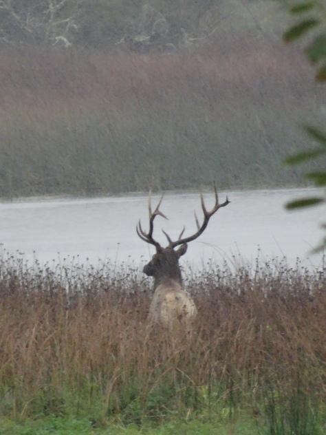 Elk buck along the Trinity River, Northern California