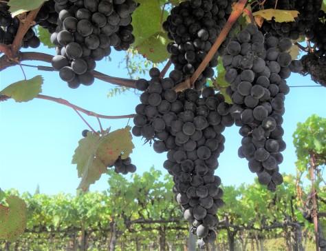 Kendall-Jackson Sampling Grapes 2