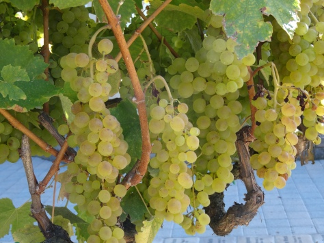 Kendall-Jackson Sampling Grapes 3