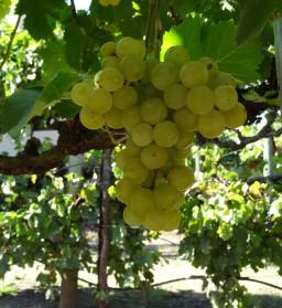 Kendall-Jackson sampling grapes