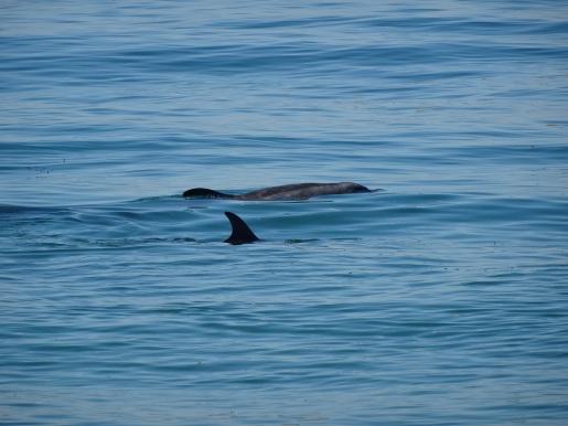 Bottlenose Dolphins, Carmel