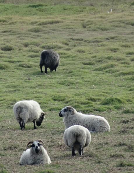 Sheep of Carmel, CA 2