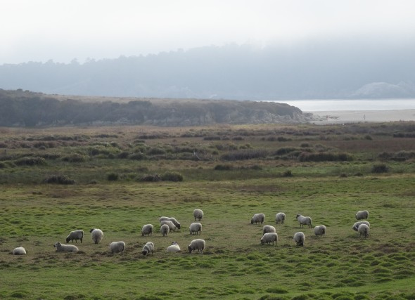 Sheep of Carmel, CA