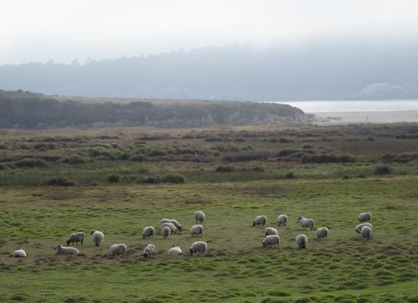 Sheep of Carmel, CA