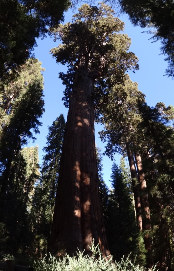 17 General Sherman Tree, Sequoia NP