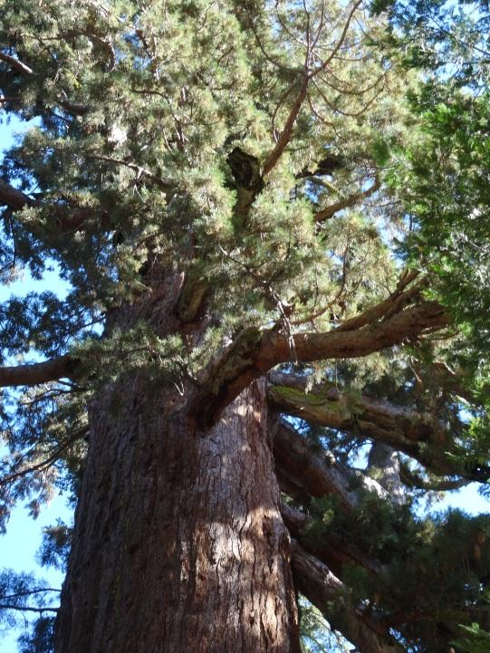 Sequoia Branches