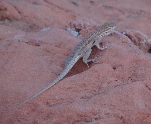 13 Valley of Fire Lizard