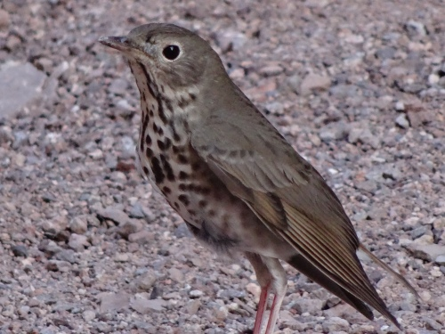 32 Swainson's Thrush, Trail Escort