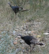 Wild Turkey, Zion NP