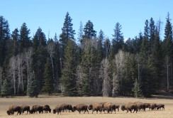 04 Buffalo Herd, SR 62 North Rim