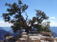 17 Bright Angel Point Trail Tree