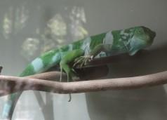 Banded Iguana, San Diego Zoo