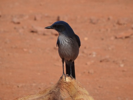 Bird, Grand Canyon SR