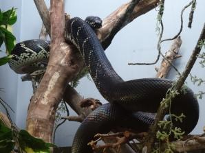Boelen's Python, San Diego Zoo