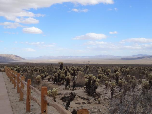 Cholla Cactus Garden, Joshua Tree NP