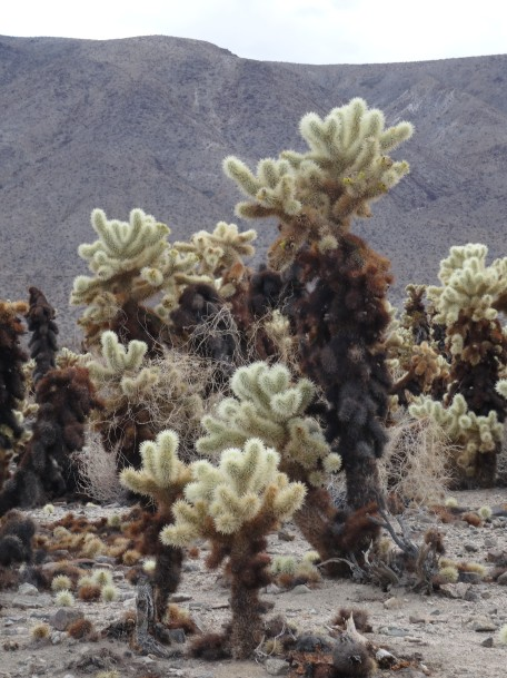 Cholla Cactus, Joshua Tree NP
