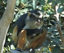 Guenon Monkey, San Diego Zoo