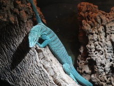 Emerald Tree Monitor, San Diego Zoo