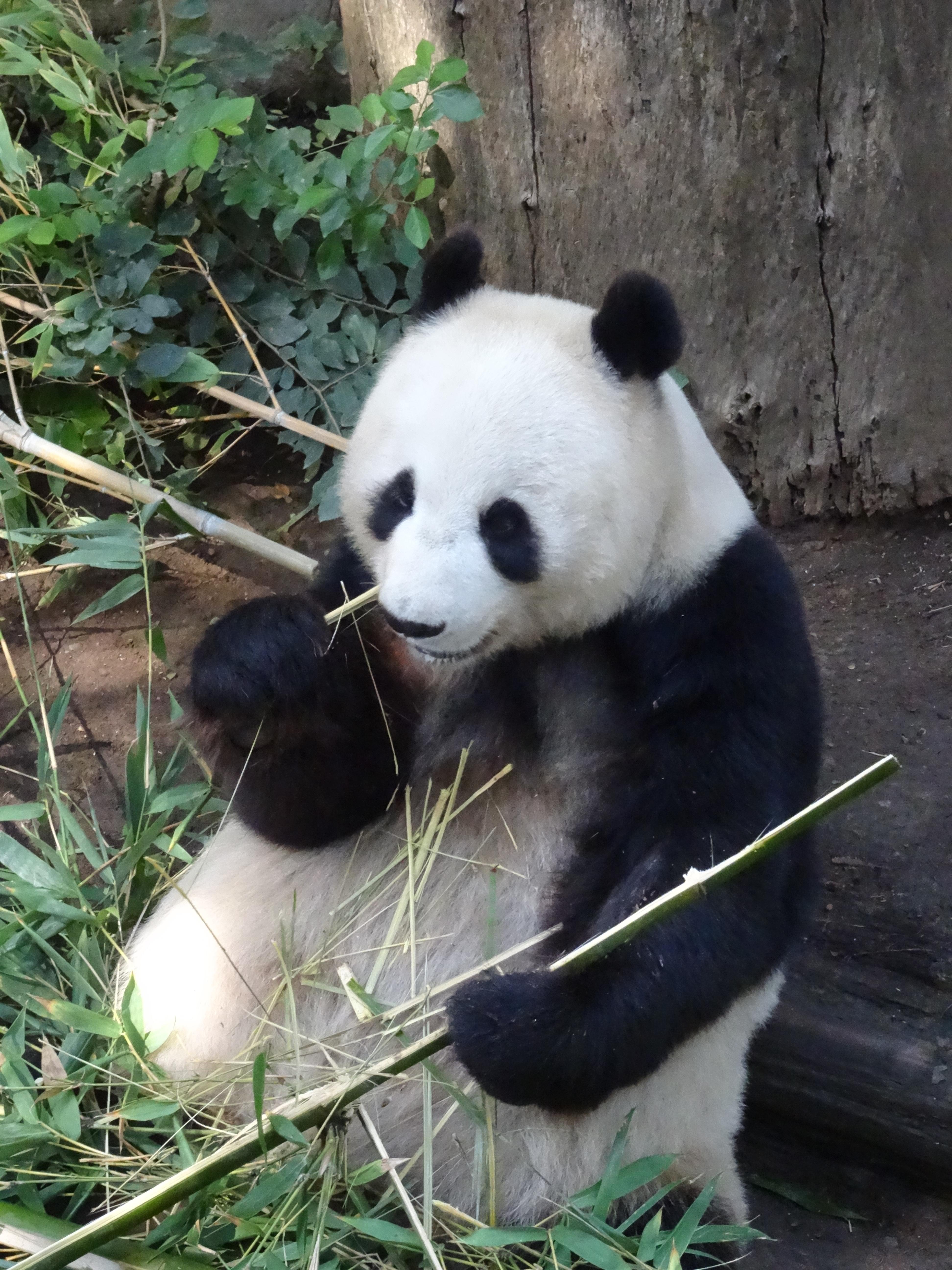 Giant Panda, San Diego Zoo 2