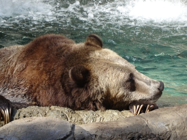Grizzly, San Diego Zoo
