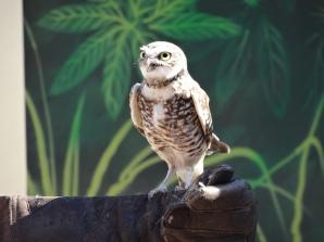 San Diego Zoo Owl