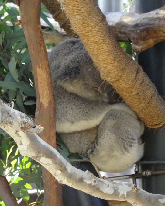 Sleepy Koala, San Diego Zoo