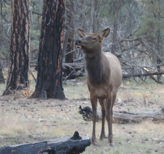 Young Elk, Grand Canyon SR