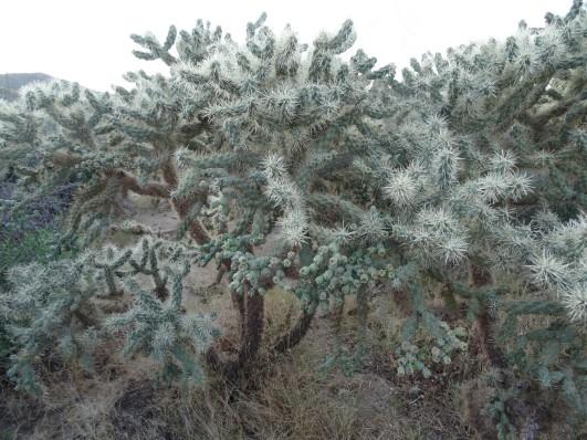 Cholla, Saguaro Natl Park W