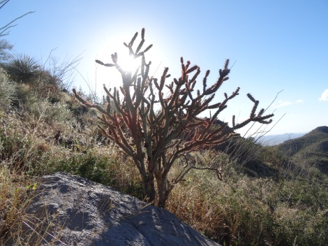 Tree Cholla, Saguaro Natl Park W